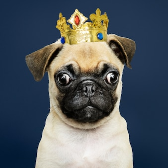 Pug puppy wearing crown