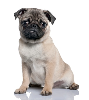 Pug puppy with 4 months. dog portrait isolated