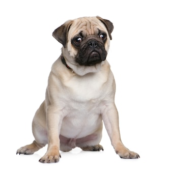 Pug puppy with 6 months. dog portrait isolated