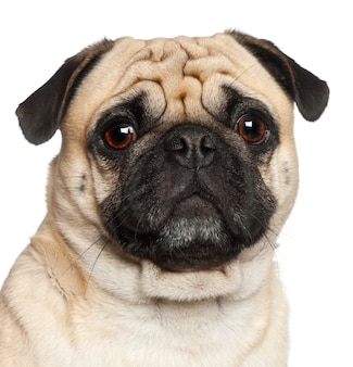 Pug, sitting against white background