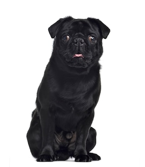 Pug, sitting and facing, isolated on white
