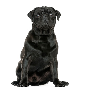 Pug sitting isolated on white