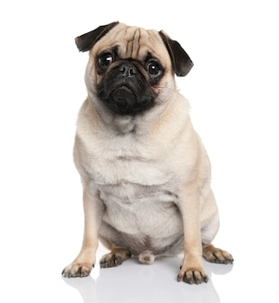 Pug sitting with 18 months old. dog portrait isolated