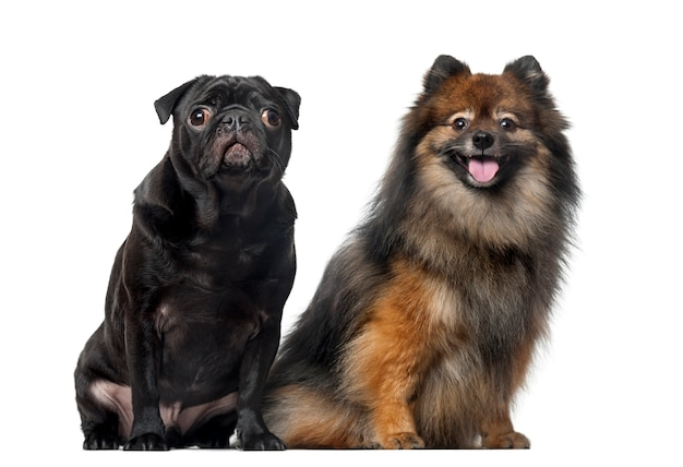 Pug and spitz in front of a white wall