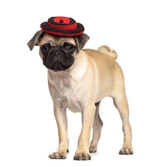 帽子をかぶって立っているパグ、白で隔離