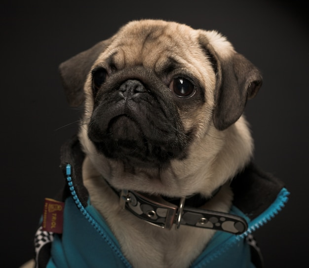 Pug wearing blue jacket