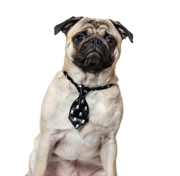 白い背景のネクタイを身に着けているパグ