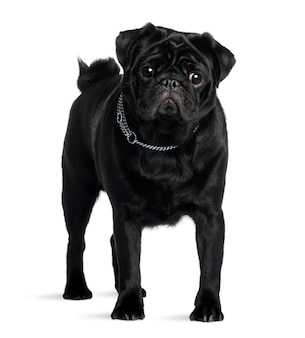 Pug with 1 year old. dog portrait isolated