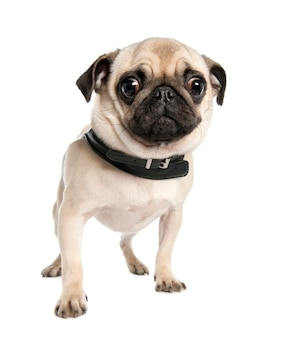 Pug with 17 months. dog portrait isolated