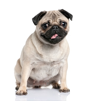 Pug with 2 years old. dog portrait isolated