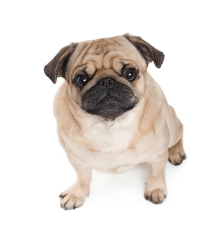 Pug with 3 years. dog portrait isolated