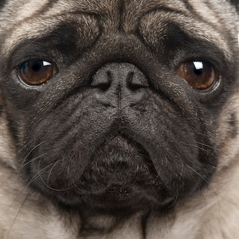 Pug with 4 years. dog portrait isolated
