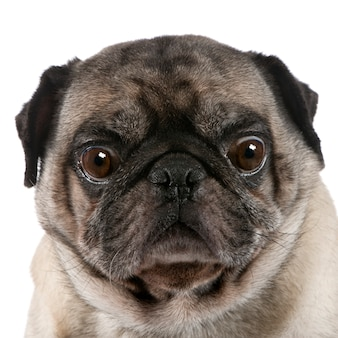Pug with 6 years. dog portrait isolated