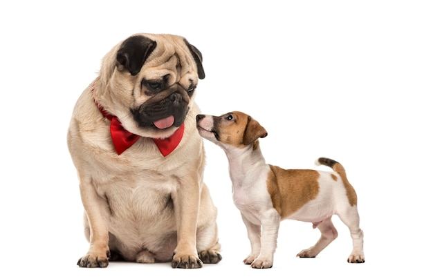 Pug with bow tie looking at a dachshund, isolated on white