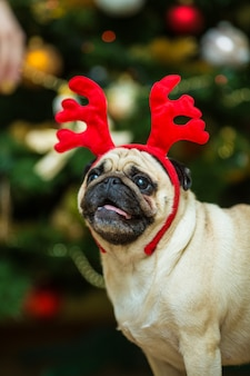 Pug with red deer antlers. happy dog. christmas pug dog. christmas mood. a dog in the apartment.