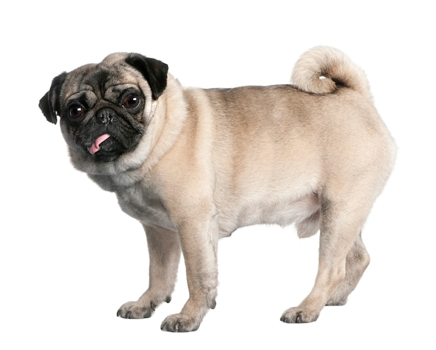 Pug with  years old. dog portrait isolated