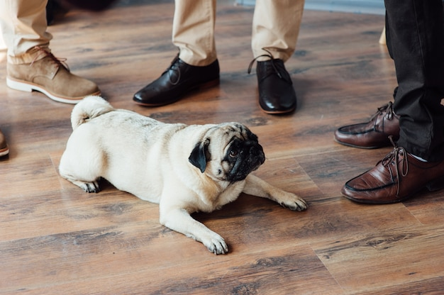 Pug on a wooden floor