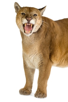 Puma (17 years) - puma concolor isolated