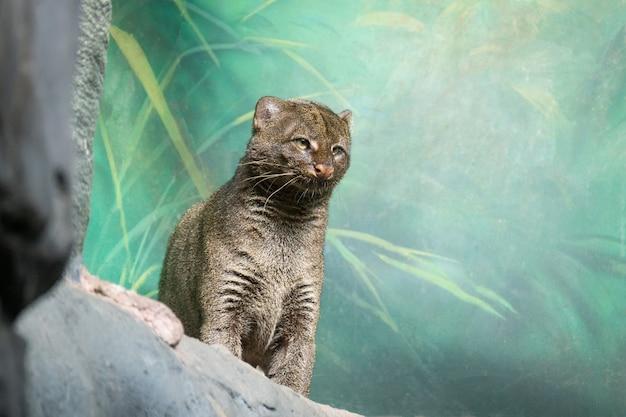 Puma yagouaroundi zoo