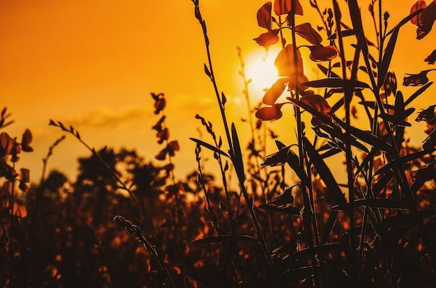 タイ田舎の夕焼けのフィールドとpummelo