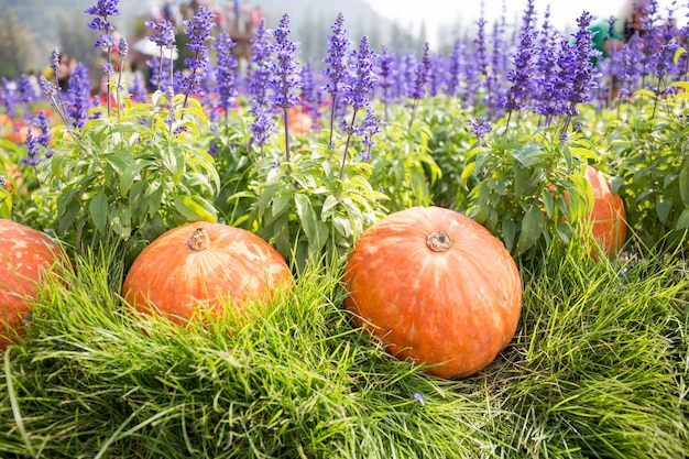 Pumpkin on grass with lavender background in field, concept idea