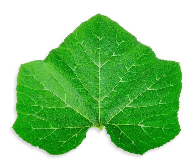 호박 잎 흰색 backgorund에 고립입니다. 잎 클리핑 패스