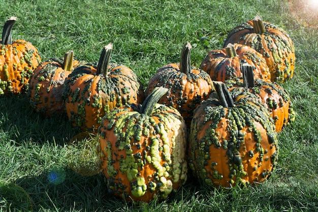 草のオレンジと緑のカボチャに疣贅を持つカボチャカボチャとカボチャの美しい秋の装飾
