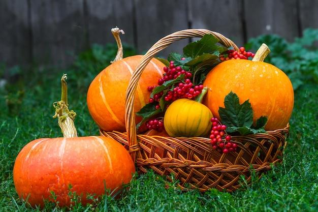 Pumpkins and a branch of red viburnum in a basket on green grass. autumn vegetables, pumpkin harvest