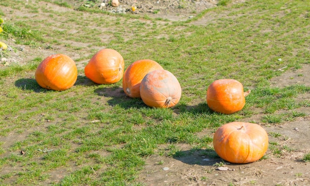 Pumpkins next to each other on the grass