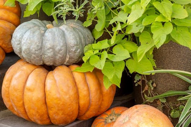 Pumpkins in farmers market. different varieties of squashes. orange pumpkin haystack thanksgiving festival