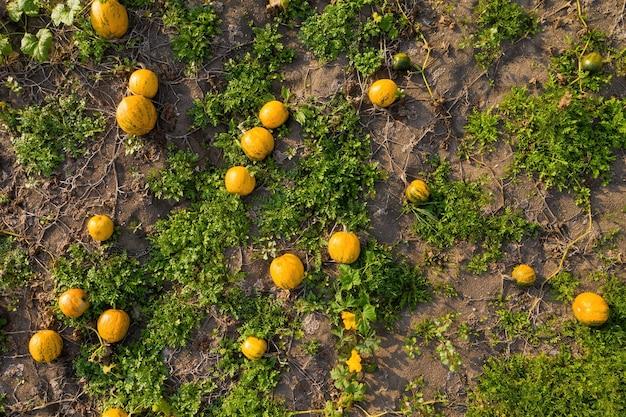 カボチャは畑で育ち、上から地面に横たわっています。