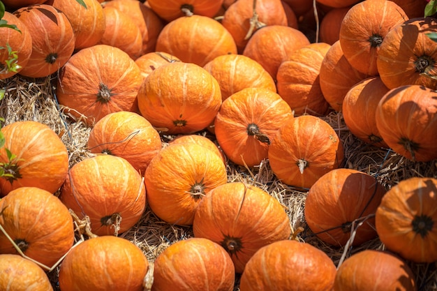 Pumpkins ready for harvesting on farm field.
