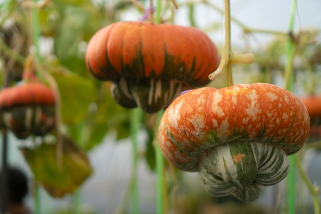 Pumpkins that are cultivated in modern houses industrial