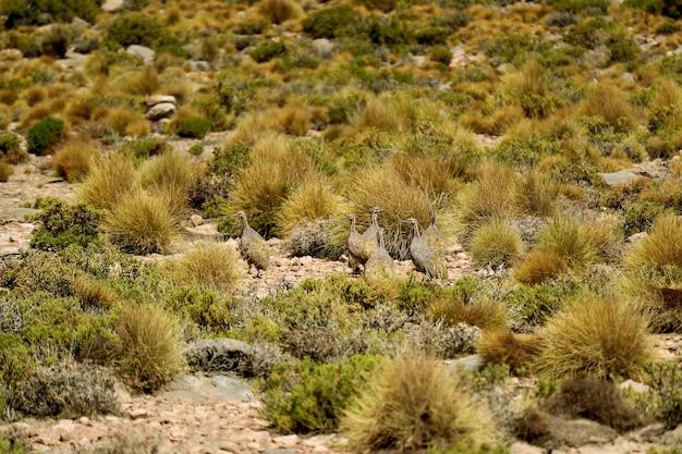 Puna tinamou birds grazing in the puna grassland of eduardo avaroa andean fauna, potosi, bolivia