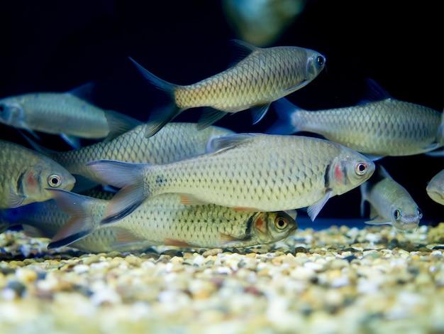 水族館の魚の赤い頬のかかり、ジャガイモ(puntius orphoides)