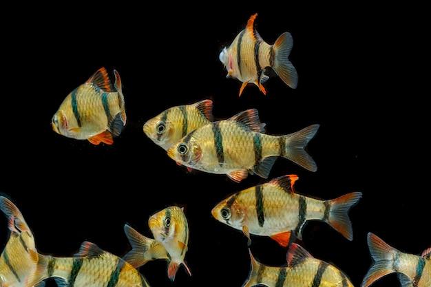 水族館の魚虎のかかりの魚、スムトラブ(puntius tetrazona)。