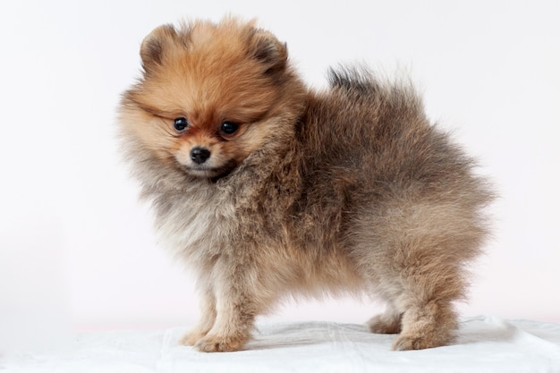 Pup pomeranian sable furry stands left side, bear boo, looking at the camera, on a white background.