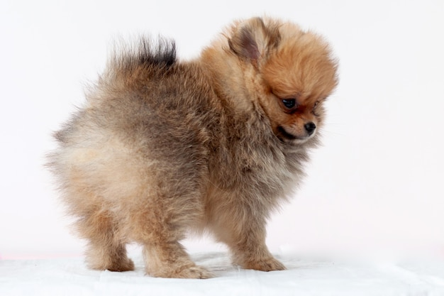 Pup pomeranian sable furry stands right side, bear boo, looks away on a white background.