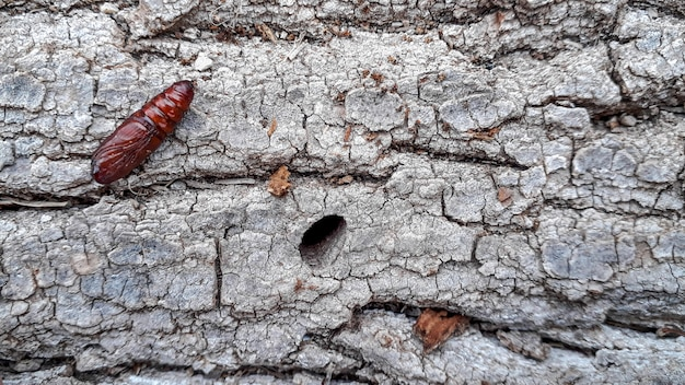 Куколка бабочки на стволе дерева найдена во время прогулки на природе.