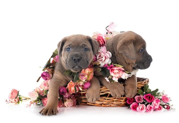 Щенки кане корсо с цветочными ошейниками