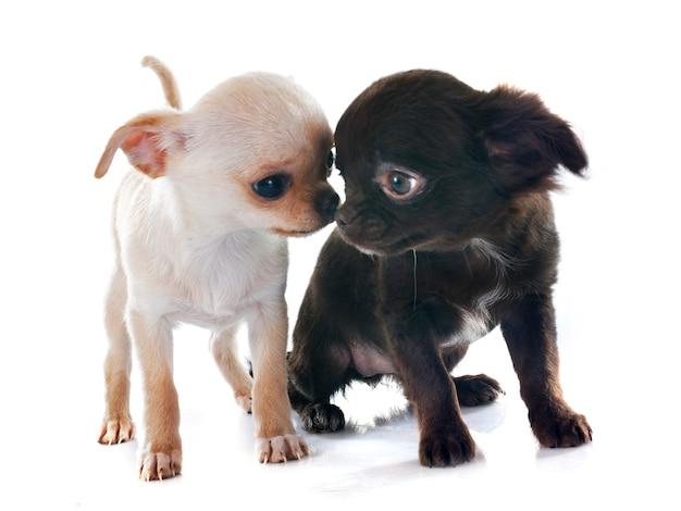 Puppies chihuahua dog