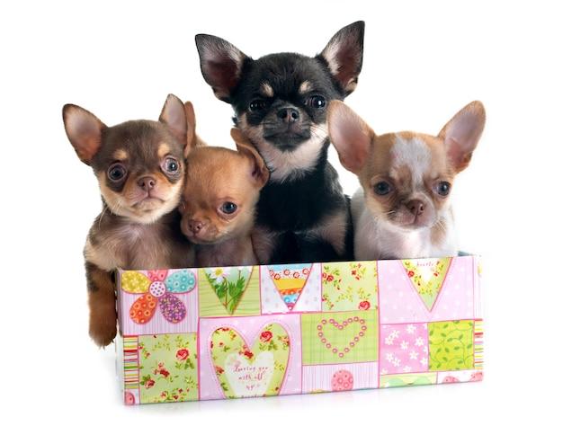 Puppies chihuahua