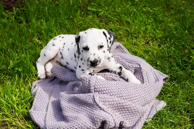 Puppies dalmatian. dalmatian puppy playing outdoors in summer