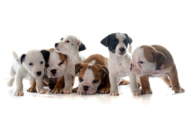 Puppies english bulldog and jack russel terrier