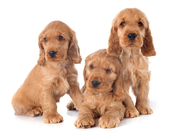 Puppies english cocker