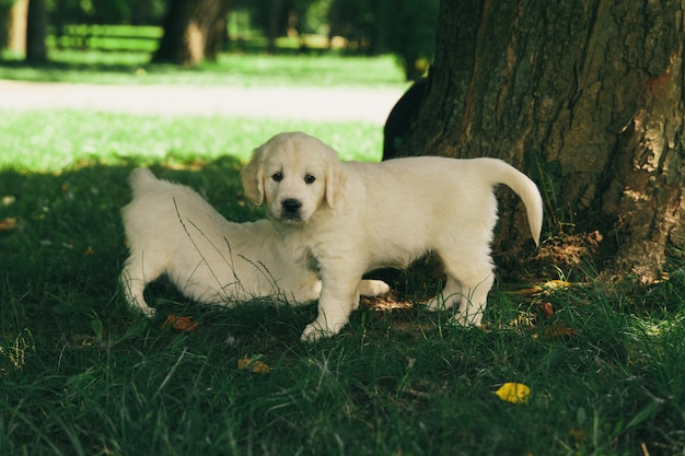 Puppies of a golden retriever walk in nature