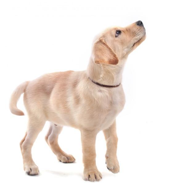 子犬ラブラドールレトリバー