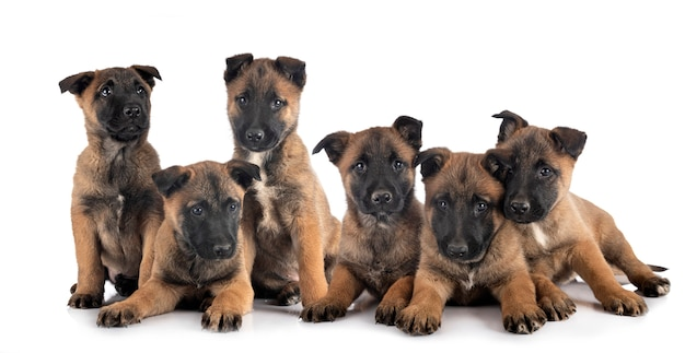 Puppies malinois isolated on white