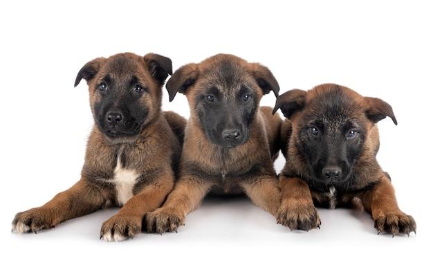 Puppies malinois isolated