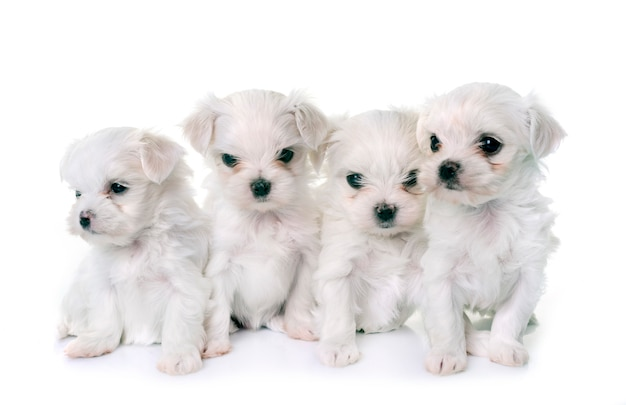 Puppies maltese dogs